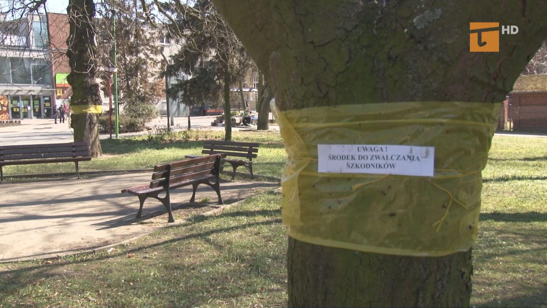 Na drzewach założone zostały specjalne żółte opaski nasączone feromonami